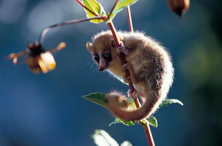 Grey Mouse Lemur Lesser Mouse lemur Microcebus murinus petit microce be Madagascar Affen Halbaffen Leuren Makis Mausmakis Saeuge