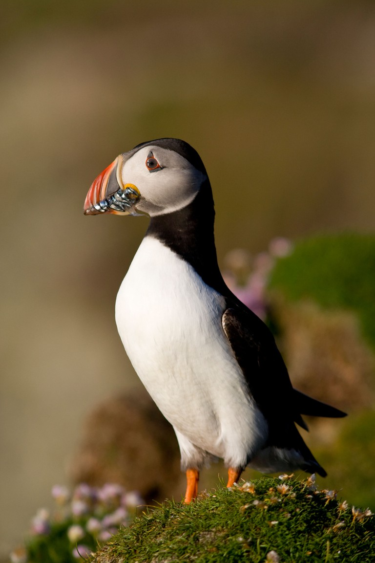 Puffin with sandeels on Fair Isle in Shetland