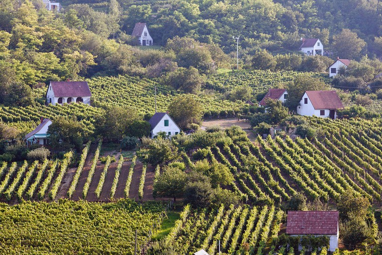 The vineyards of Szekszard, Hungary