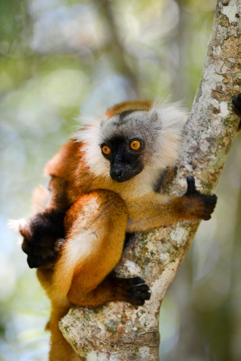 black lemur (Lemur macaco, Petterus macaco), female with pup clims on a tree, Madagascar, Nosy Be, Lokobe Reserva