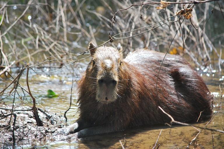 Capybara on a Bolivian Pantanal tour