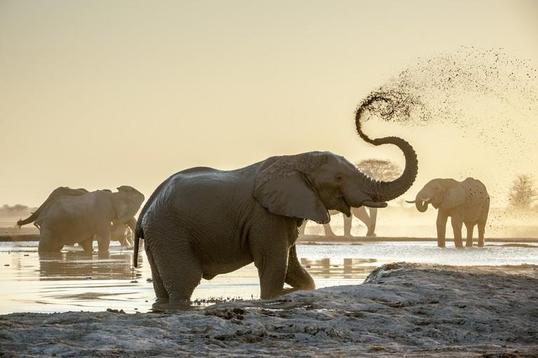 African elephants (Loxodonta africana), sprayed with mud at a waterhole, Nxai Pan National Park, Ngamiland, Botswana