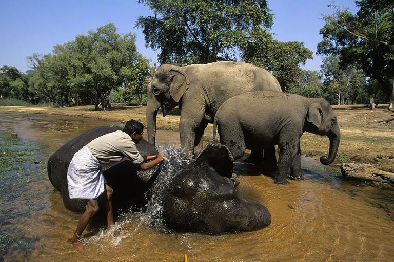 India, Bandhavgarh National Park, Asian Elephants Being