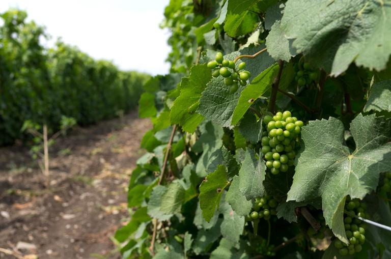 Grape Vines in Summer
