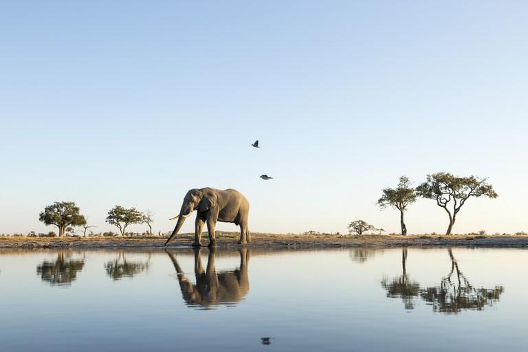 African Elephant at Water Hole, Botswana