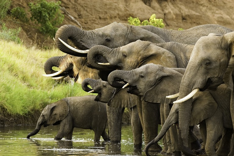 A close up herd of African elephants, Loxodonta africana, drinking at a waterhole and lifting their trunks at the same time in Botswanas Mashatu Game Reserve.