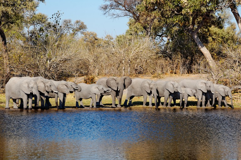 Herd of elephants drinking at waterhole Duma Tau Camp, Linyanti Reserve.