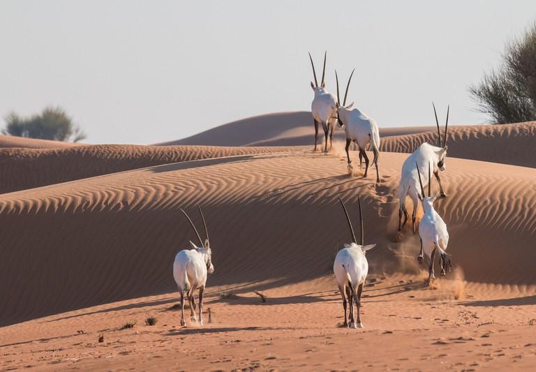 Arabian oryx (Oryx leucoryx) in the desert after sunrise.