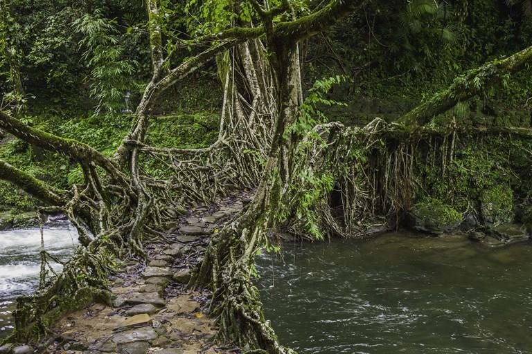 Living roots bridge over river, Shillong, Meghalaya, India.