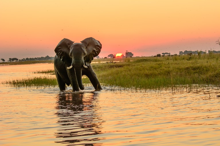 African elephant in the Chobe river at dusk