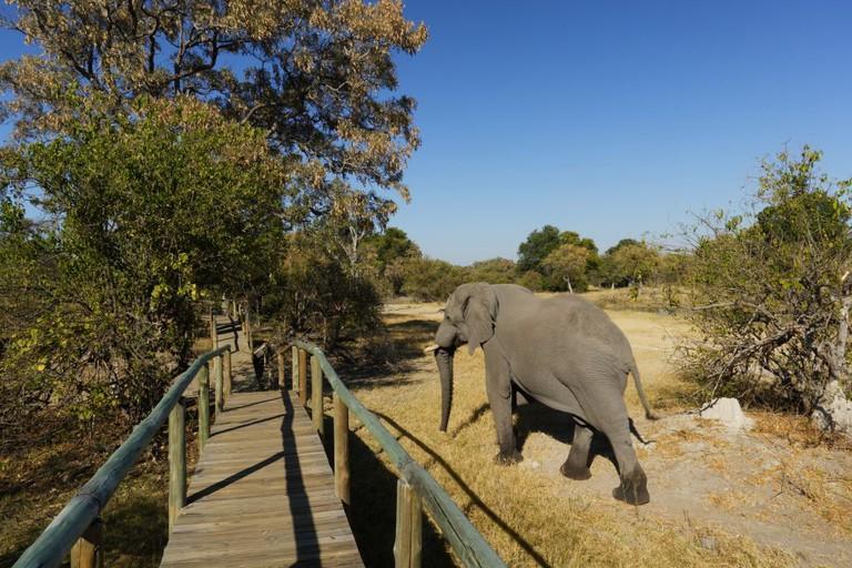 Botswana. Okavango Delta. Vumbura Camp. Elephant