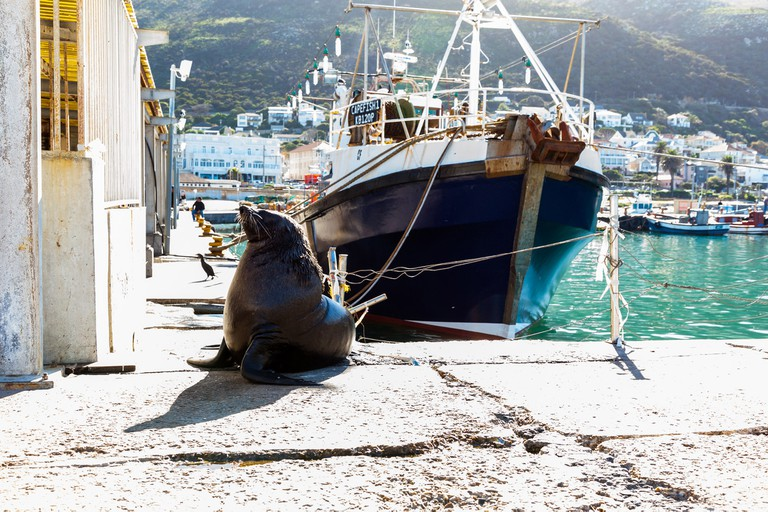 A seal waits for fish scraps at Kalk Bay Harbour, Cape Town