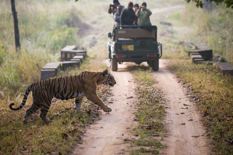 A tiger walks across the road between a convoy of tourists in Kanha National Park, India