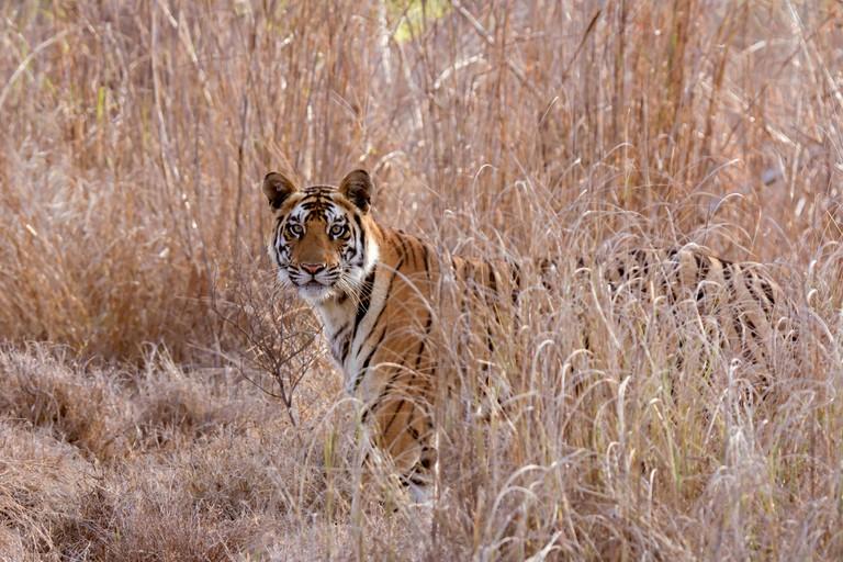 P 141, Royal Bengal Tiger, Panthera tigris, Bandhavgarh Tiger Reserve, Madhya Pradesh, India