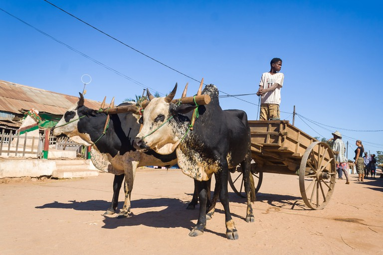Man driving a zebu cart on jul 3, 2006 in the typical village of Belo sur Tsiribihina, western Madagascar