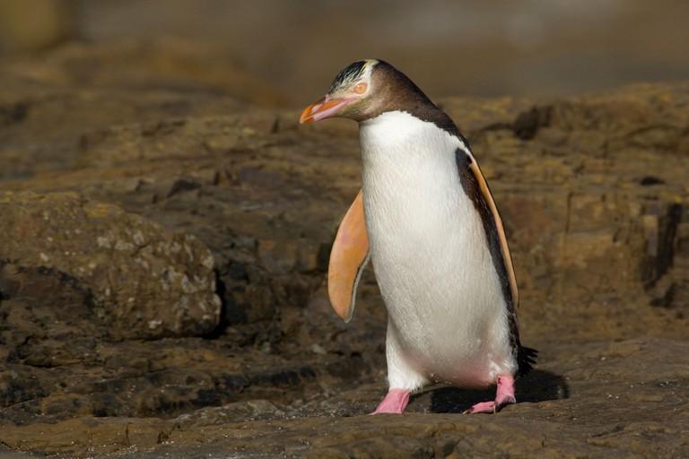 yellow-eyed penguin, (megadyptes antipodes) new zealand, south island, curio bay