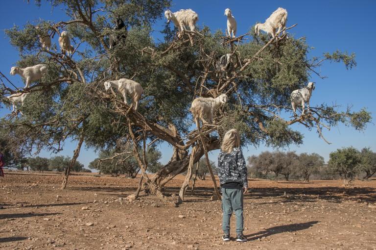 little boy admiring the tree climbing goats on argan tree in Morocco