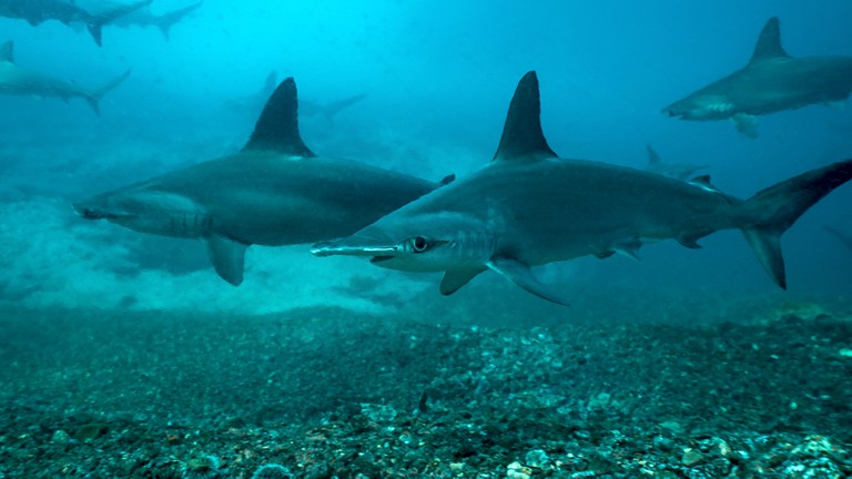 One of the corners of hammerhead triangle, Malpelo, provides frequent sightings of hammerheads