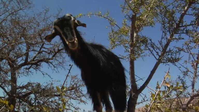 Goats on Trees 1