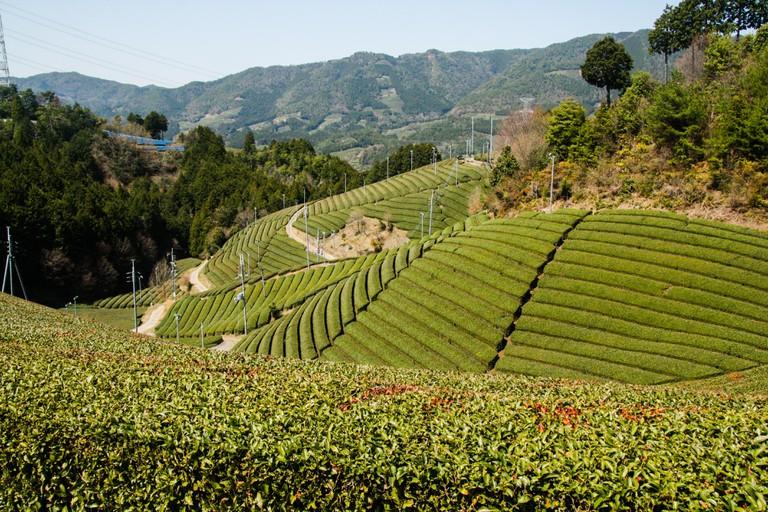 Tea fields of Uji, Kyoto, Japan.