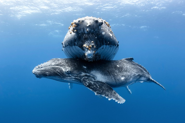 A humpback whale calf male rests beneath his mother