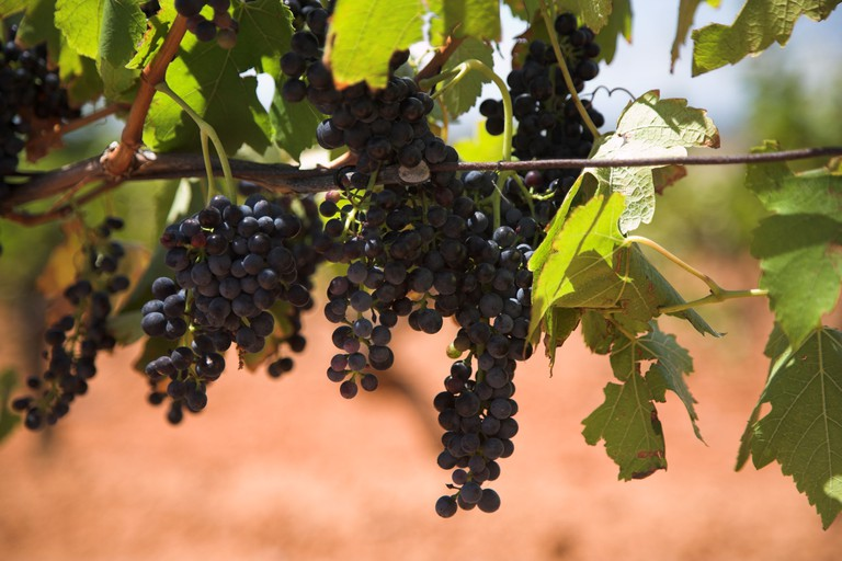 Grapes on a vine, Hunter Valley