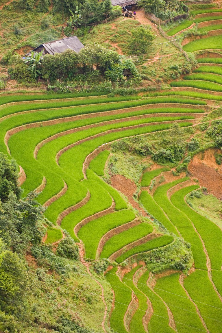 Curved green rice paddies on a hillside of Sa Pa, Vietnam