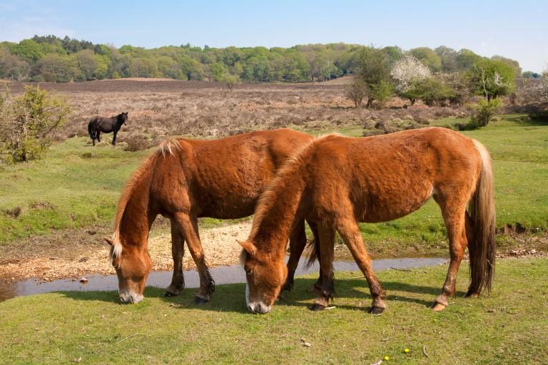New Forest ponies near stream