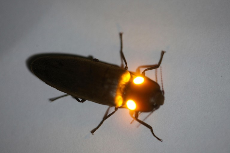 Click beetle showing orange bioluminescence, Costa Rica