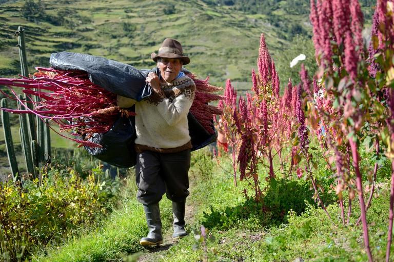 A farmer carries quinoa plants in Peru