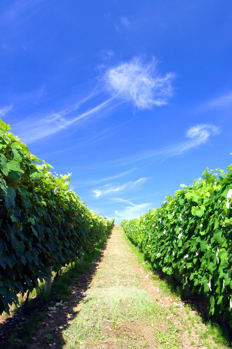 Vineyard in Japan