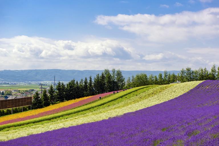 Lavender Field with Colourful Flower Garden, Hokkaido, Jpaan