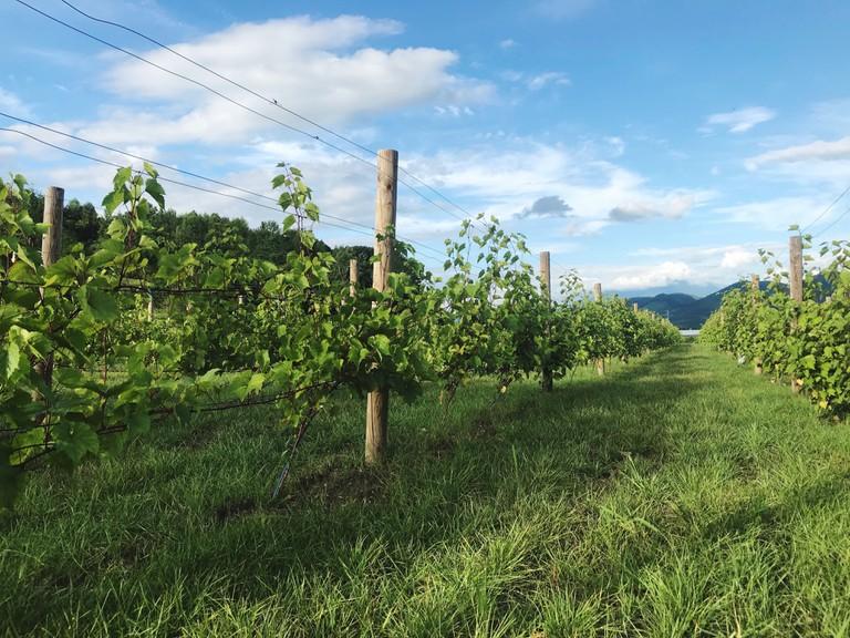 Vineyard in Furano, Japan