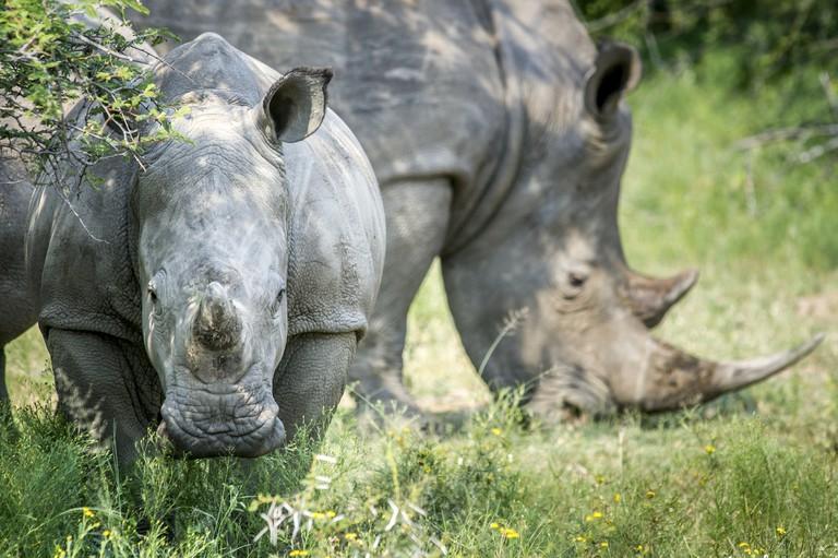 A pair of rhinoceros (Rhinocerotidae) on the Dinokeng Game Reserve