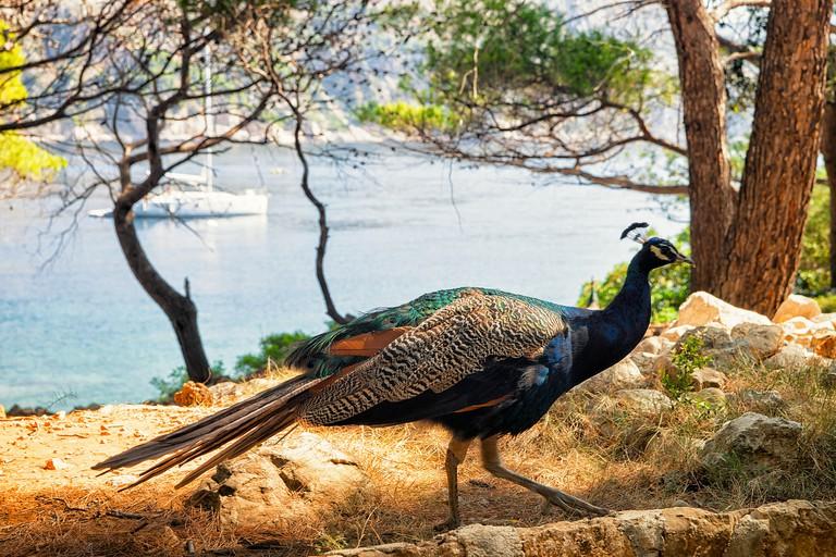 Peacock in Lokrum Island