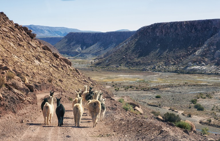Llamas, Rainbow Valley, Atacama Desert, Chile, dirt road