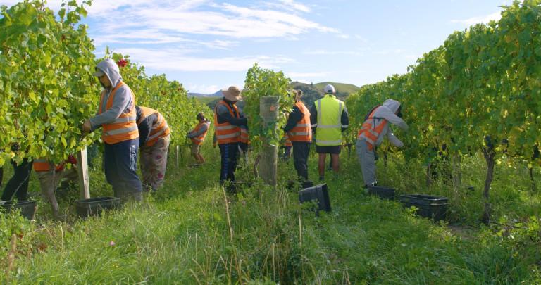 Harvesters in Villa Maria vineyard