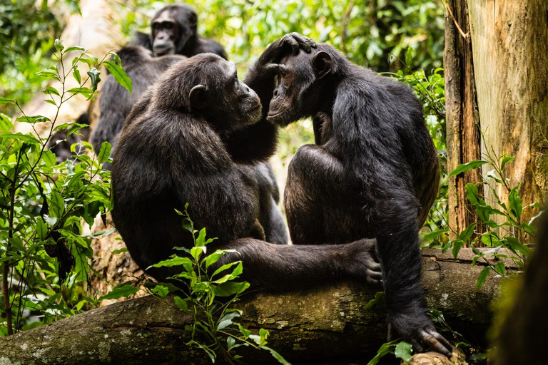 Chimpanzees groom each other