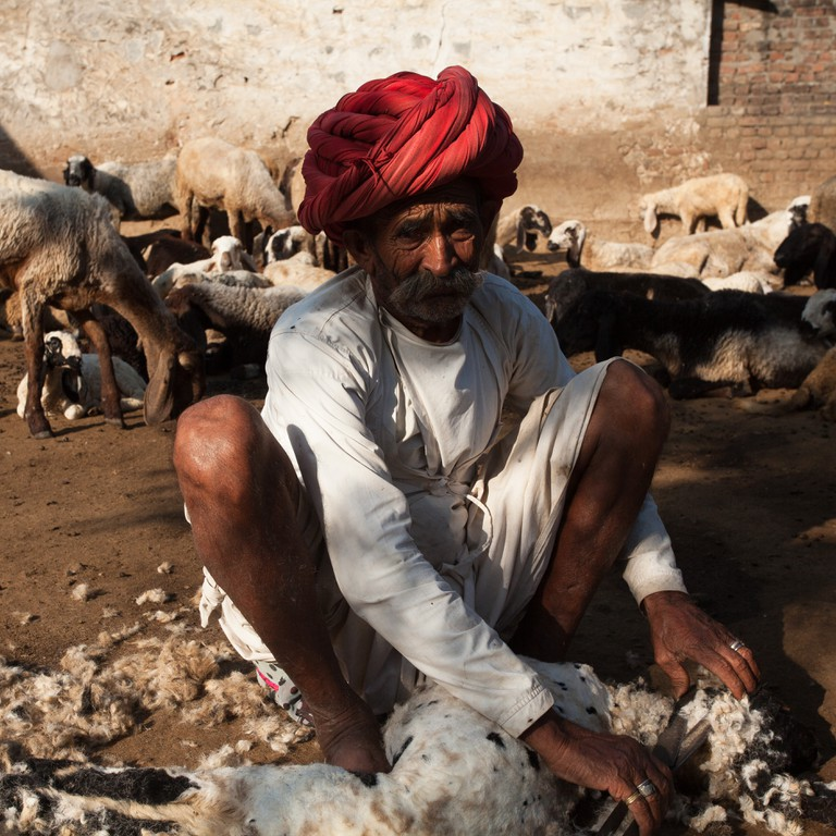 Sheering the sheep in a Raika family compound