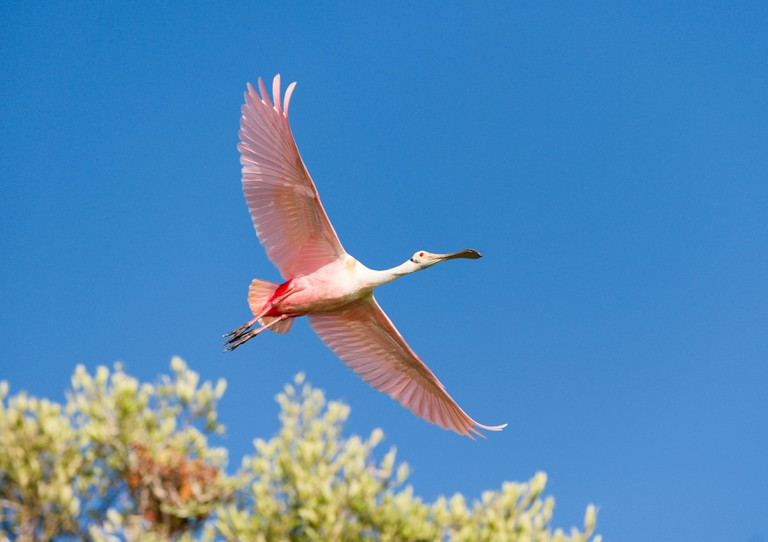 A Rosetta Spoonbill at the Sian Ka'an Biosphere Reserve in Tulum