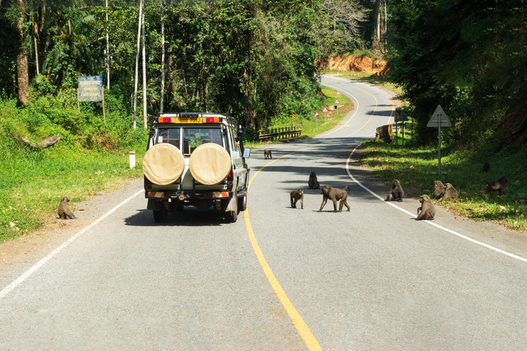 A passing tourist vehicle attracts a troupe of olive baboons
