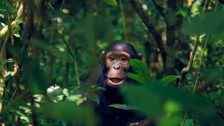 A juvenile chimp at Kibale National Park