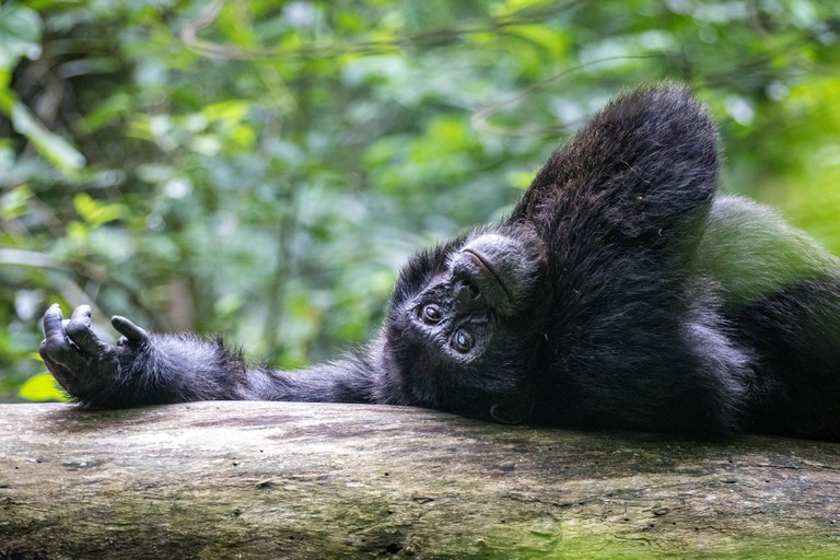 A chimpanzee rests on a tree trunk in Kibale National Park