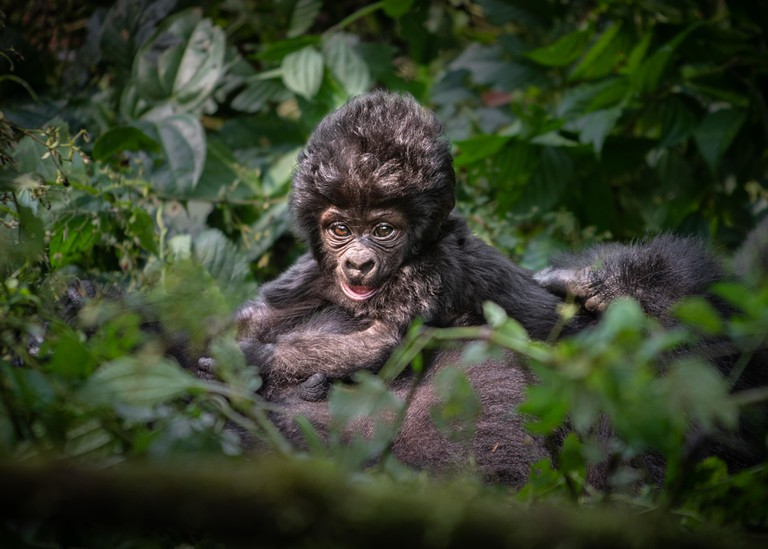 A baby gorilla in Bwindi Impenetrable Forest