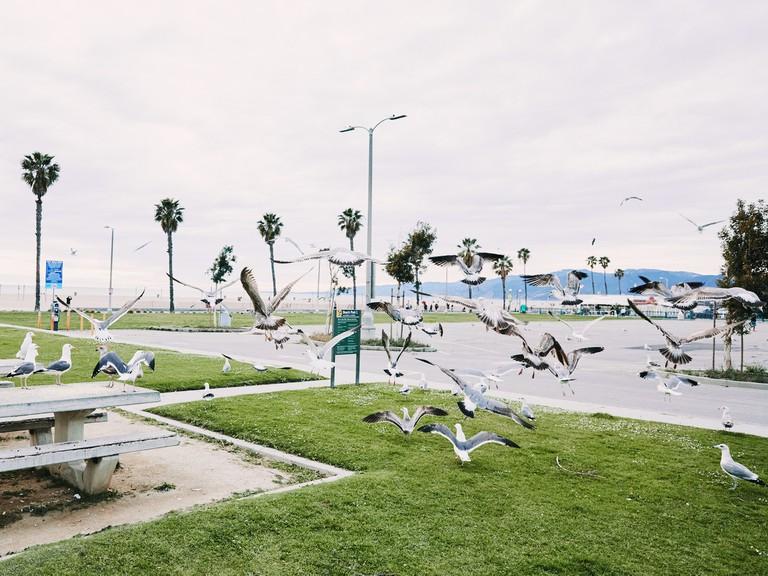 Seagulls fly on the Santa Monica Beach
