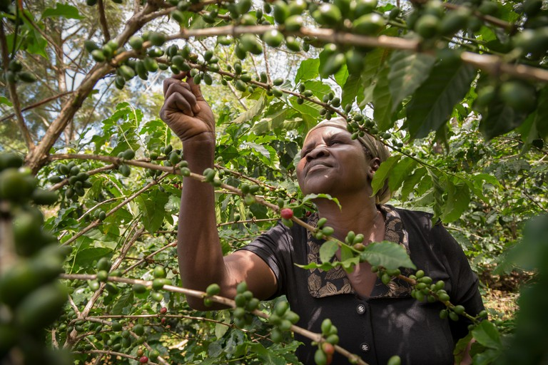 A small farmer picks coffee cherries in her field.