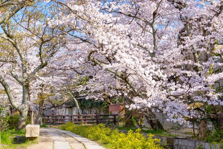 Philosopher's Walk in the Springtime, Kyoto, Japan.