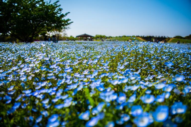 nemophilas on background of blue sky in fukuoka, Japan