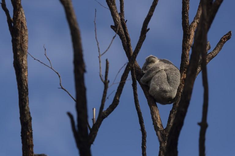 A koala at the Wildlife Retreat at Taronga Zoo
