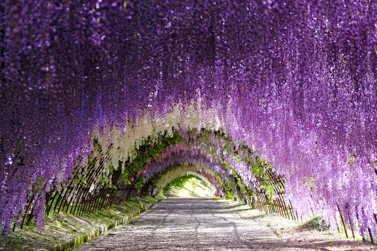 Wisteria tunnel in full bloom at Kawachi Fujien Wisteria Garden in Kitakyushu, Fukuoka, Japan